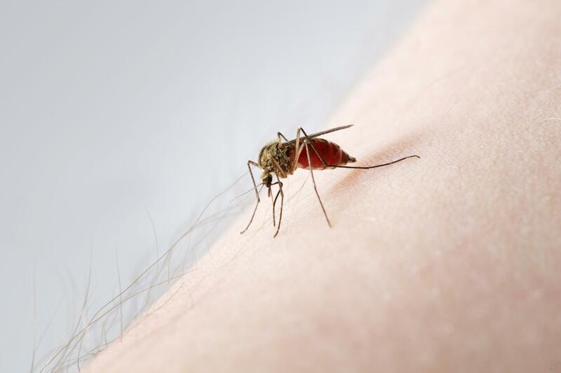 A pretty mosquito